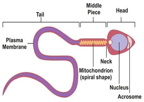 Tinh trùng ít acrosome